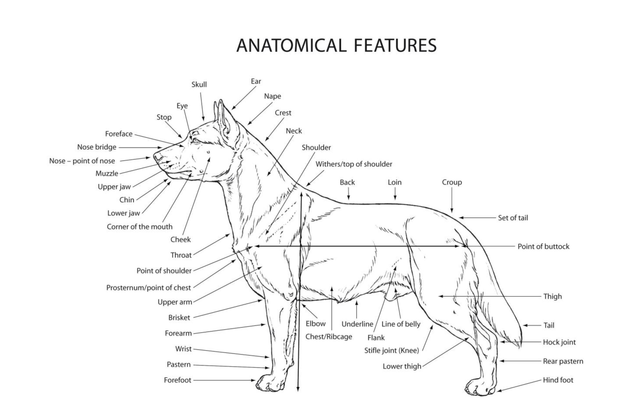 Male dog reproduction - crazywidow.info
